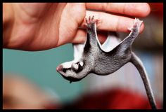 just the most adorable sugar glider ever :)