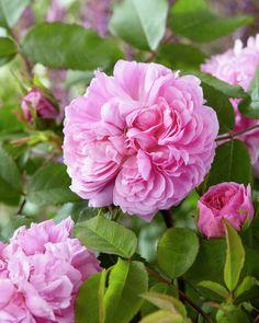Rose 'Marchesa Boccella' • Rosa 'Marchesa Boccella' • Plants & Flowers • 99Roots.com