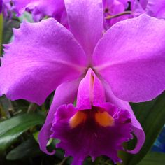 Orchid............