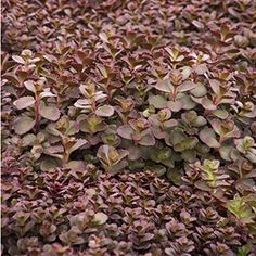 The Bronze Carpet Stonecrop succulent is a beautiful trailing perennial that forms a lush, ground-hugging mat of bronze-red foliage. Perfect if you're looking for a spiller spreading up to 2 ft. wide. Zone: 3 – 9