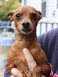Pitter is an adopted Miniature Pinscher Dog in Akron, NY. 10/8/12 - One year old male min pin. Our adoption policy includes a vet reference and home visit. The $200 adoption fee includes up to date va...