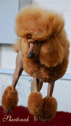 54 Ideas dogs and puppies miniatures poodle mix Red Poodles, French Poodles, Standard Poodles, Apricot Standard Poodle, Poodle Cuts, Poodle Mix, Poodle Puppies, Poodle Grooming, Dog Grooming