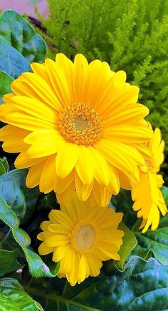 Nem parece de verdade essa Gerbera, magnífica... Beautiful Flowers Pictures, Beautiful Flowers Wallpapers, Wonderful Flowers, Good Morning Flowers, Beautiful Flowers Garden, Flowers Nature, Exotic Flowers, Beautiful Roses, Pretty Flowers