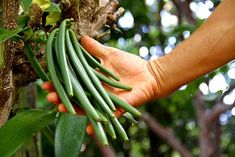 Grow an Italian Herb Garden Container Gardening Vegetables, Container Plants, Vegetable Garden, Herb Gardening, Herbs Garden, Indoor Gardening, Organic Gardening, Grow Vanilla Beans, Coffee Geek