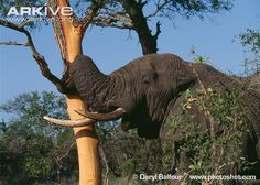 elephant stripping bark - Google 検索