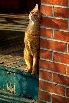 Orange tabby tiger kitty cat enjoying some sunshine 😊❤️ #cats