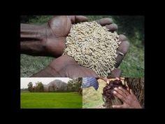 Medicinal Rice B4 Formulations for Allergy to sugar: Pankaj Oudhia's Med...