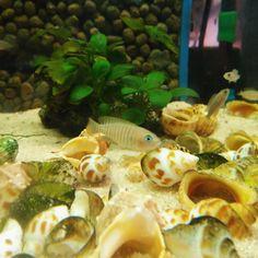 Neolamprologus multifasciatus en uno de nuestros acuarios. #cíclidos #conchícolas #Tanganika #cichlid #Tanganyika