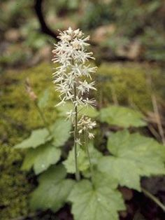 Tiarella cordifolia (Heart-leaf foamflower,) shade plant, once again, acidic moist soil