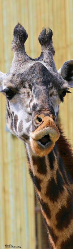 Mark Dumont's albums Funny Giraffe Pictures, Giraffe Photos, Giraffe Art, Animal Pictures, Jungle Animals, Animals And Pets, Baby Animals, Funny Animals, Cute Animals