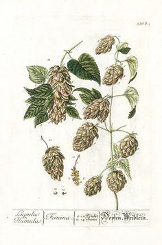 Elizabeth Blackwell Herbarium Prints 1757        Hops