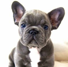 French bulldog! He's such a cutie!