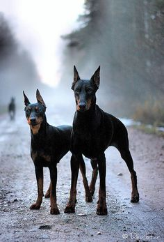 awesome looking dogs! Dobermans!