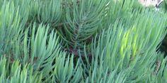 Narrow Leaf Chalk Sticks, Senecio  talinoides ssp.  cylindricus