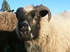 Eyglo, one of my Icelandic ewes.