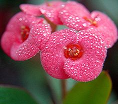Heavy rain and dew drenched Crown of Thorns