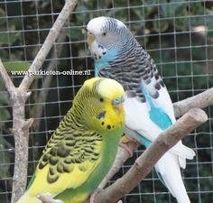 Bonte grasparkieten Parakeets www.parkieten-online.nl