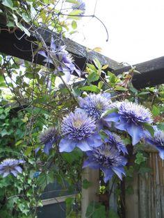 Bosdruif, bosrank (Clematis 'Multi Blue')