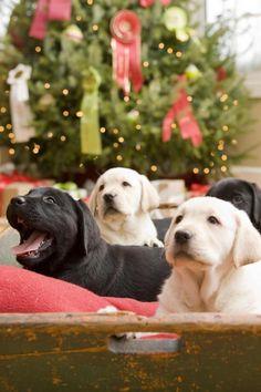Chocolate Black & Yellow Labrador Retriever Merry Christmas Card Labs Puppy Holiday Dogs Santa Claus Dog Puppies