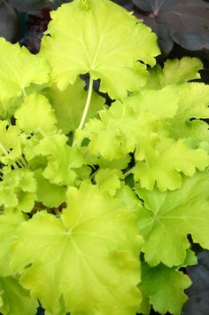 Heuchera Lime Rickey  Terra Nova variety developed for gardens and patios in the Southeast.  Thrives in Zones 4-9.