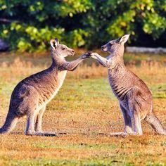 "Fun time after school for the roos, they rehearse the famous French kids song ""sur le pont d'Avignon..."" ! Do you know this one.?! (Avignon's bridge dance) #seeaustralia #wildlife_perfection #wildlifepics #lovetheroos #playful #kangaroo #amazing #thisisonlyinaustralia #socute #somewhereinoz #discoveraustralia #fun #wonderful_places #bestanimal #bestofaustralia #beautifulplanett #exploringaustralia #natureaddict #nature_obsession #worldtravelphotography #my_best_shot #ic_nature ..."