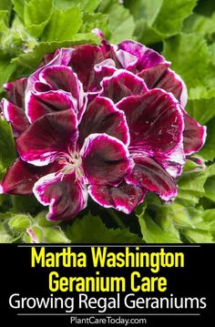 Martha Washington Geranium is an indoor geranium and incredibly beautiful given the right conditions. Geranium Care, Perennial Geranium, Wild Geranium, Hardy Geranium, Scented Geranium, Geranium Flower, Doterra Geranium, Geranium Sanguineum, Gardens