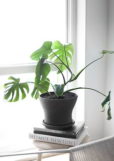 Monstera from Trendenser. Leaf Flowers, Flower Pots, Green Plants, Houseplants, Planting Flowers, Flower Gardening, Decoration, Indoor Plants, Greenery