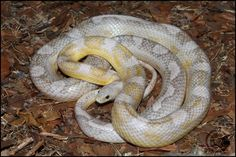 All About Snakes, Ball Python Morphs, Corn Snake, Beautiful Snakes, Exotic, Animals, Baby, Blue Prints, Terrariums