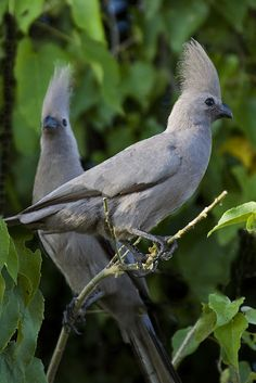 """Grey Loerie (Corythaixoides concolor) common bird of the southern Afrotropics. They are present in arid to moist, open woodlands and thorn savanna, especially near surface water.They regularly form groups and parties that forage in tree tops, or dust bathe on the ground. When disturbed, make their presence known by their characteristically loud and nasal """"kweh"""" or """"go-way"""" calls. Within range, their unique combination of appearance and habits precludes confusion with other bird species."""