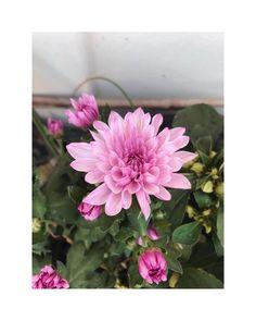 "flower overdose on Instagram: ""pink chrysanthemum . . . . . . . . . . . . . . . . . . . . #gardenflowers #beautifulflowers #flowers #flower #nature #garden #flowerpower…"" Flowers, Plants, Pink, Instagram, Florals, Planters, Flower, Blossoms, Roses"