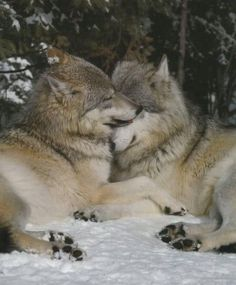 Wolves can love so deeply.