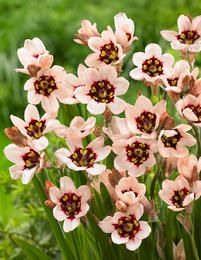 """Sparaxis """"Moonlight,"""" aka the """"Harlequin Flower"""" from South Africa Flora Flowers, Purple Flowers, Wild Flowers, Beautiful Flowers, Succulents Garden, Garden Plants, Planting Flowers, South African Flowers, African Plants"""