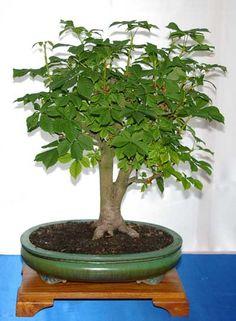 Aesculus hippocastanum, Roßkastanie, Bonsai