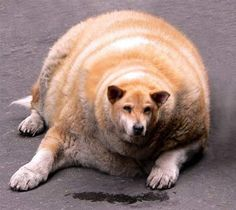 TOO fat dog
