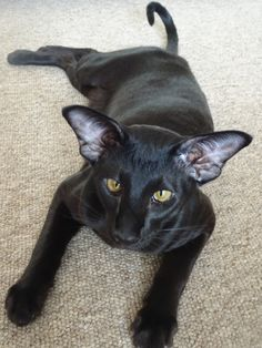 My Majik 8 months old Cute Cats And Dogs, I Love Cats, Cool Cats, Cats And Kittens, Pretty Cats, Beautiful Cats, Animals Beautiful, Oriental Cat Breeds, Oriental Shorthair Cats