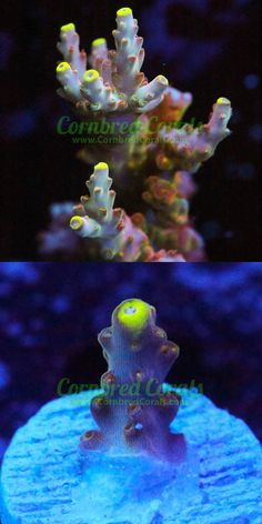 Coral and Live Rock 177797: Cornbreds Golden Jaw Dropper Acro - Wysiwyg - Frag - Live Coral -> BUY IT NOW ONLY: $199.99 on eBay!
