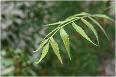Neem - a great blood and liver cleanser that's excellent for the skin. and big shade tree that has no bugs! because of natural insecticide Azadirachta Indica, Neem Oil, Jojoba Oil, Cystic Acne Essential Oil, Essential Oils, Home Remedies For Scabies, Neem Powder, Ayurvedic Remedies, Natural Remedies