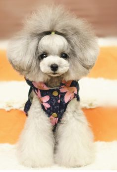 Beautiful poodle Poodle Grooming, Dog Grooming, Mobile Pet Grooming, Airline Pet Carrier, Dog Haircuts, Pet Carriers, Beautiful Dogs, Mans Best Friend, Yorkie