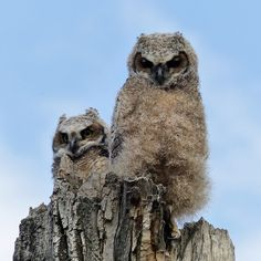 Great Horned Owl (juveniles)