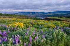 Columbia River wildflowers