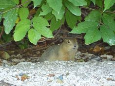 Winnipeg Zoo - Ground Hog Ground Hog, Photos, Animals, Pictures, Animais, Animales, Animaux, Photographs, Animal