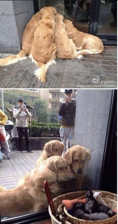 Diese 10 Bilder beweisen, dass Golden Retriever die süssesten Hunde der Welt sind These 10 pictures prove that Golden Retrievers are the sweetest dogs in the world Cute Funny Animals, Funny Animal Pictures, Cute Baby Animals, Funny Dogs, Animals And Pets, Cute Cats, Funny Memes, Adorable Dogs, Funny Ferrets