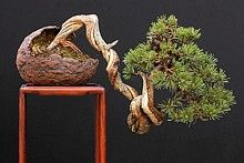 Tips and Tricks for beginning Bonsai...I would add give great drainage through lots of sand and gravel in your soil mix. This can be found easily at the aquarium supplies section of your store...