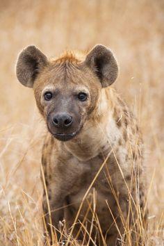 Hyena Stare by Mario Moreno