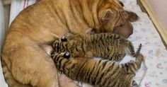Shar pei dog nursing tiger cubs in the resort of Sochi, southern Russia. The two cats, born in May, were abandoned by the mother in a local zoo