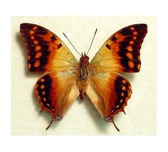African Dagger Tail Butterfly
