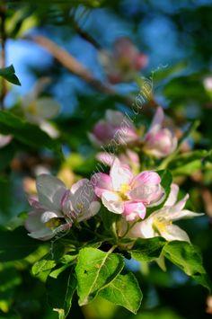 Hintergrund grunen Fruhling Apfel Blume