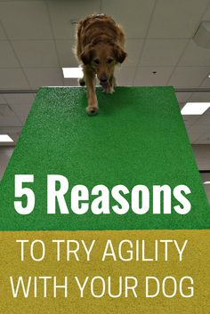 Have you thought about trying agility with your dog? Check out the 5 benefits of trying agility. @MyDogLikes thinks agility is the best way to exercise your dog's body and brain. @lollypopfarmny