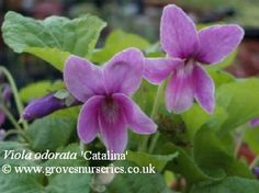 Catalina Violet.  Good sized flower of bright pink with purple reverse to the petal. Scented.