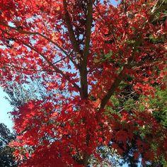 終於親眼見證日本紅葉 雖然還沒全紅光看到幾棵偷跑的楓樹就已滿足 Ps.金黃銀杏也不是蓋的 by queena426